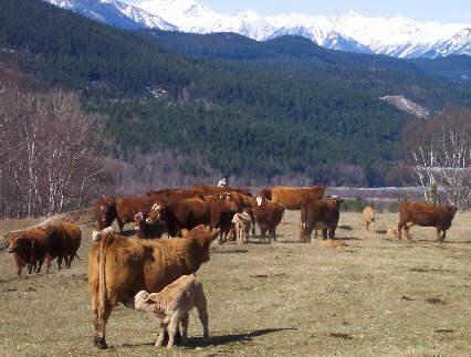 Cattle-2004-04-24